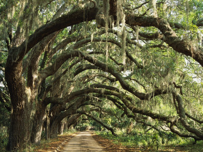 The Christian Is a Live Oak
